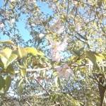 ヒマラヤ桜_R